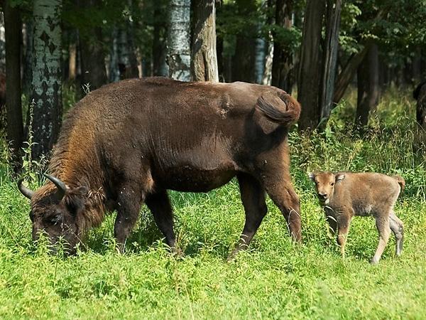 Взаказнике «Муромский» возросла популяция зубров